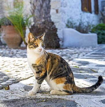 Tabby cat, Paros, Cyclades, Aegean Sea, Greece, Europe