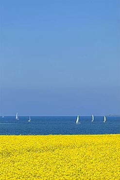 Rape field near Luetjenbrode, sailing boats, Grossenbrode, Schleswig-Holstein, Germany, Europe