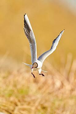 Black-headed gull (Chroicocephalus ridibundus) flying, Bavaria, Germany, Europe