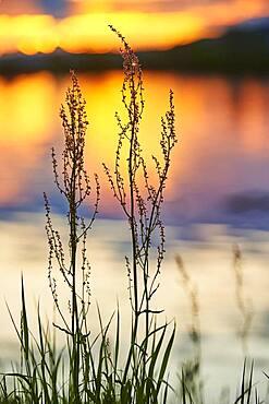 Red sorrel, sheep's sorrel, field sorrel or sour weed (Rumex acetosella) growing beside danubia river at sunset, bavaria, Germany, Europe