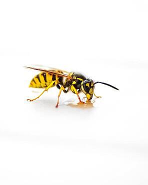 Wasp (Vespinae), Moessensee, Mecklenburg-Vorpommern, Germany, Europe