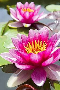 Pink Water lily (Nymphaea), Baden-Wuerttemberg, Germany, Europe