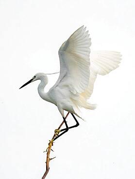 Little egret (Egretta garzetta) landing on branch, Lake Kerkini, Macedonia, Greece, Europe