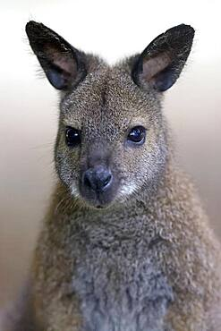 Red-necked wallaby (Macropus rufogriseus), animal portrait, captive, Germany, Europe