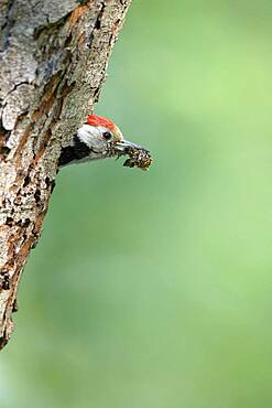 Middle spotted woodpecker (Dendrocopos medius), looking out of breeding cavity, North Rhine-Westphalia, Germany, Europe