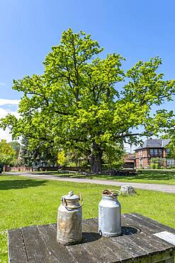 Two milk cans are standing on a table in front of the village oak in the centre of the Rundlingsdorf Kuesten, district of Luechow-Dannenberg, Wendland, Lower Saxony, Germany, Europe