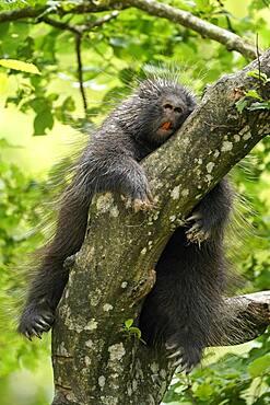 New World porcupine (Urson Erethizon Dorsatum) sleeping on a branch, captive, France, Europe