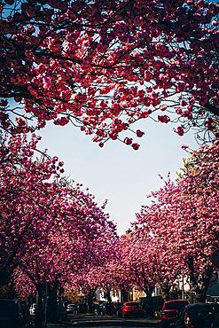 Kirschbaum Allee, Cherry Blossom, Heart, Frankfurt, Germany, Europe