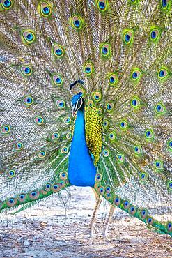 Indian peafowl (Pavo cristatus) beats wheel, Blue peacock Plaka Forest, Kos, Dodecanese, Greece, Europe