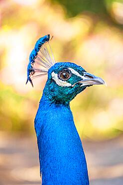 Portrait, Indian peafowl (Pavo cristatus), Blue peacock forest Plaka Forest, Kos, Dodecanese, Greece, Europe