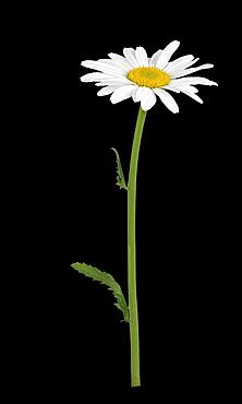 Dog daisy (Leucanthemum vulgare), stem with flower, Germany, Europe