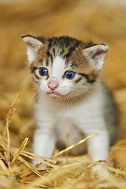 Domestic cat (Felis catus) kitten in the straw, Bavaria, Germany, Europe