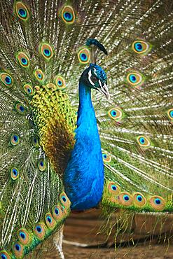 Indian peafowl (Pavo cristatus) spread one's tail (feathers), Bavaria, Germany, Europe