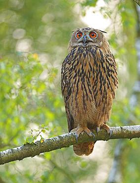 Calling Eurasian eagle-owl (Bubo bubo) in a birch tree, Sauerland, Germany, Europe