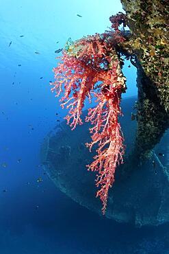 Large soft coral (Dedronepthya klunzingeri) on the mast of the Cedar Pride, shipwreck, wreck, Cedar Pride, Red Sea, Aqaba, Jordan, Asia