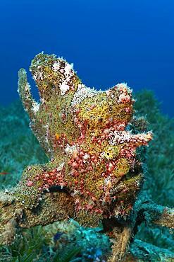 Painted frogfish (Antennarius pictus), Red Sea seagrass meadow, Aqaba, Kingdom of Jordan