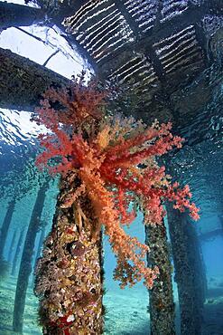 Large Klunzinger's Soft Coral (Dendronephthya klunzingeri) on column under jetty, Red Sea, Aqaba, Kingdom of Jordan