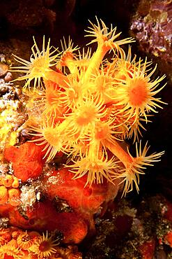 Astroides (Astroides calycularis), Mediterranean Sea, Portofino, Liguria, Italy, Europe