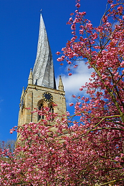 Crooked spire and spring blossom, Chesterfield, Derbyshire, England, United Kingdom, Europe