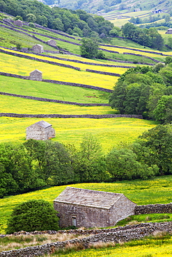 Field barns in buttercup meadows near Thwaite in Swaledale, Yorkshire Dales, Yorkshire, England, United Kingdom, Europe