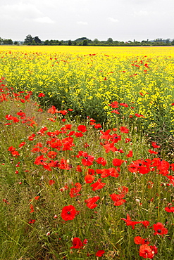 Poppies in an oilseed rape field near North Stainley, Ripon, North Yorkshire, Yorkshire, England, United Kingdom, Europe