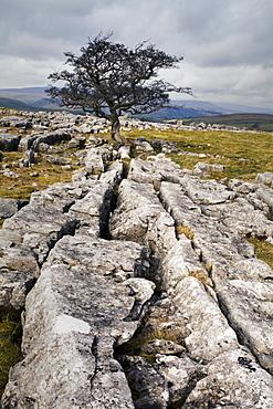 Lone tree at Winskill Stones near Settle, Yorkshire Dales, Yorkshire, England, United Kingdom, Europe