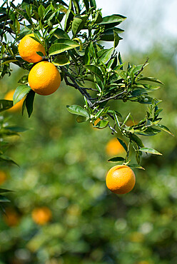 Detail of oranges, Cyprus, Europe