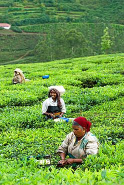 Picking tea on a Tea Plantation, near Munnar, Kerala, India, Asia