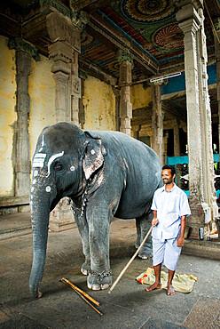 The Temple Elephant, Sri Meenakshi Sundareshwara Temple, Madurai, Tamil Nadu, India, Asia