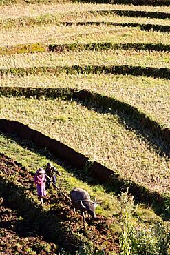 Water buffalo ploughing terraced rice field, near Kengtung, Shan State, Myanmar (Burma), Asia