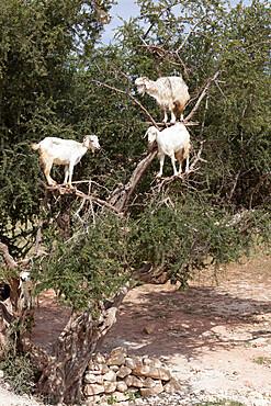 Goats up Argan tree, near Essaouira, Morocco, North Africa, Africa