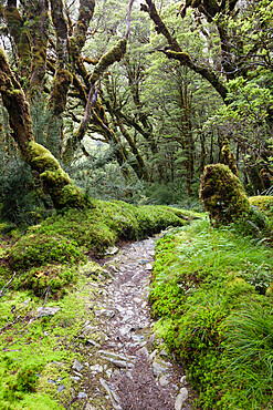 Moss covered forest above Lake Mackenzie, Routeburn Track, Fiordland National Park, UNESCO World Heritage Site, South Island, New Zealand, Pacific