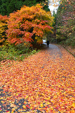 Autumn leaves along the old Nakasendo highway, Magome, Kiso Valley Nakasendo, Central Honshu, Japan, Asia