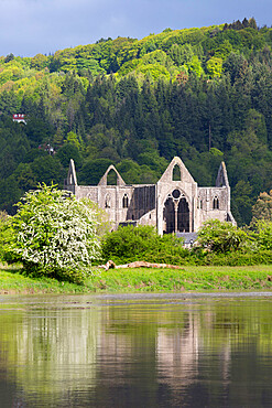 Ruins of Tintern Abbey by the River Wye, Tintern, Wye Valley, Monmouthshire, Wales, United Kingdom, Europe