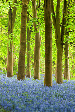 Bluebell wood, Chipping Campden, Cotswolds, Gloucestershire, England, United Kingdom, Europe