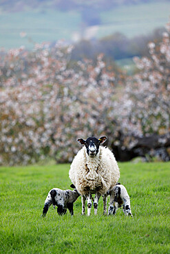 Ewe feeding two lambs in field in spring, Mickleton, Cotswolds, Gloucestershire, England, United Kingdom, Europe