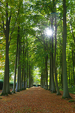 Avenue of beech trees, Mickleton, Cotswolds, Gloucestershire, England, United Kingdom, Europe