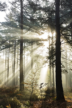 Rays of sun breaking through mist in woodland of scots pine trees, Newtown Common, Hampshire, England, United Kingdom, Europe