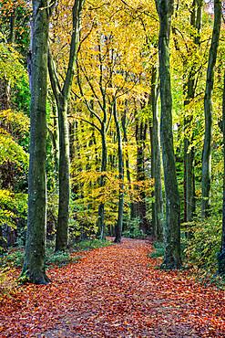 Footpath leading through beech tree woodland, Basingstoke, Hampshire, England, United Kingdom, Europe