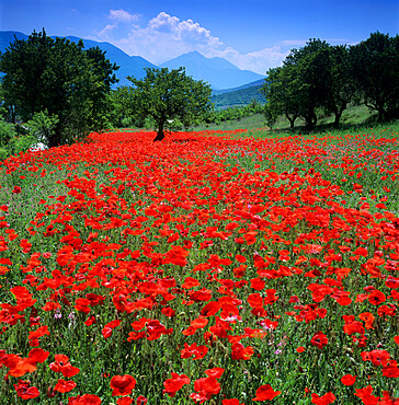 Red poppies growing in the Umbrian countryside, Umbria, Italy, Europe