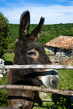 Donkey in rural setting, Cres Island, Kvarner Gulf, Croatia, Europe