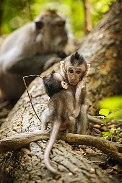 Baby Long Tailed Macaques, Monkey Forest Sanctuary, Ubud, Bali, Indonesia, Southeast Asia, Asia