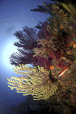 Soft Corals & Gorgonian Seafans (Species unknown). Sardinia, Italy.  (A4 only).