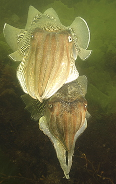 Cuttlefishes (Sepia officinalis). Babbacombe, Torquay, South Devon, UK. (A4 only).