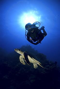 Diver and Hawksbill Turtle (Eretmochelys imbriocota), Little Cayman Island, Cayman Islands, Caribbean - 970-769