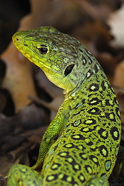 Portrait of an ocellated lizard (Timon lepidus) in El Torcal, Malaga, Andalucia, Spain, Europe