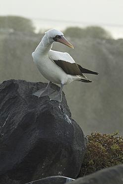 Nazca (masked) booby (Sula dactylatra). Galapagos.