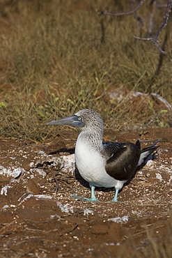 Blue-footed booby (Sula nebouxii) in the Galapagos Island Group, Ecuador. The Galapagos are a nest and breeding area for blue-footed boobies.