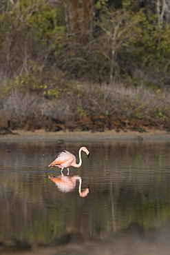 Greater flamingo (Phoenicopterus ruber) foraging for small pink shrimp (Artemia salina) in saltwater lagoons in the Galapagos Island Group, Ecuador. Pacific Ocean.