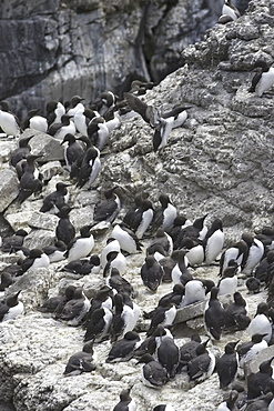 Guillemot (Uria aalge) colony with chicks ready to leave to sea.  Hebrides, Scotland